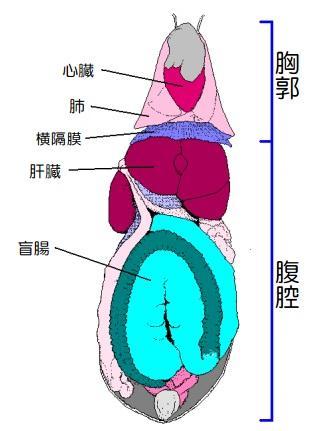 うさぎの消化機構と食糞