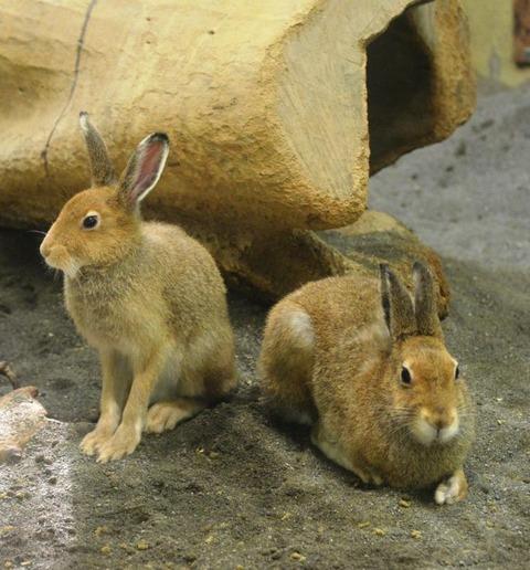 ARBA公認品種 番外編 -日本に生息する野生のウサギたち その2/4 エゾユキウサギ-