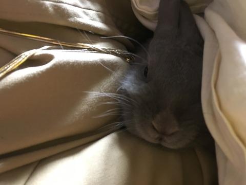 ウサコッツと布団で一緒に寝る