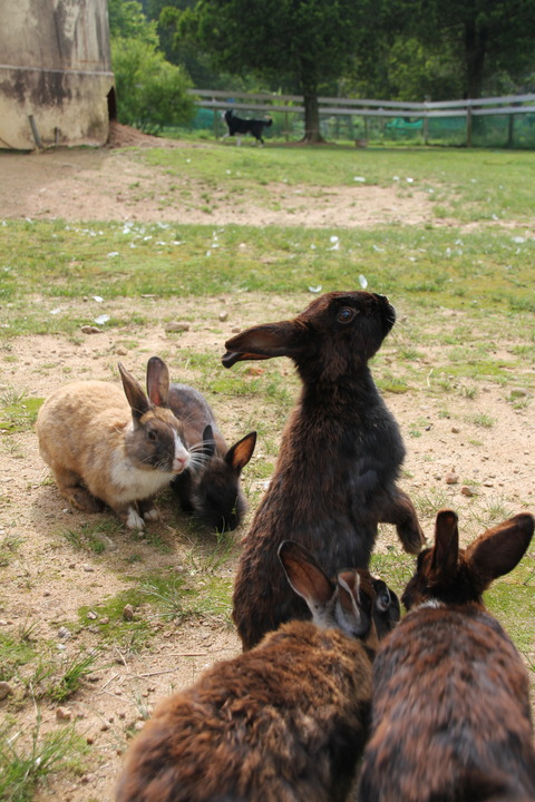 ウサギの社会性 ~ふれあい牧場 高原ハウスの群れを見て思うこと~