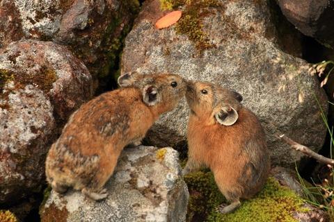 ARBA公認品種 番外編 -日本に生息する野生のウサギたち その3/4 エゾナキウサギ-