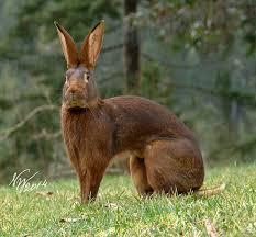 ARBA公認品種 No.7 ベルジアン・ヘアー(Belgian Hare)