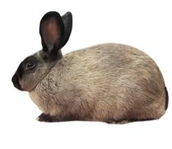American-Sable-Rabbit-Breed