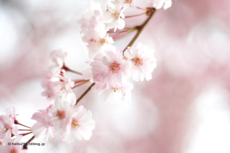 掃部山公園・枝垂桜