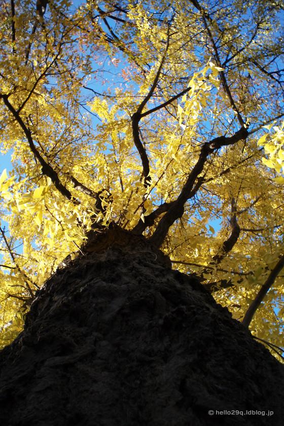 山下公園通り:銀杏並木