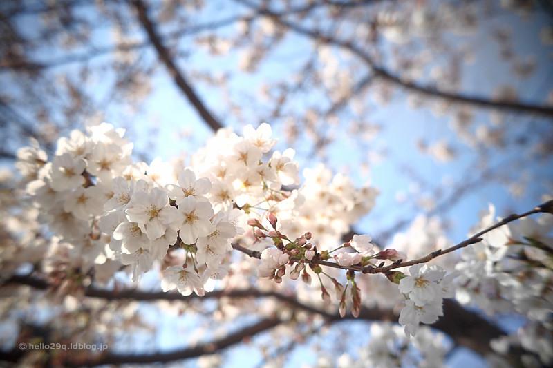 大岡川:桜