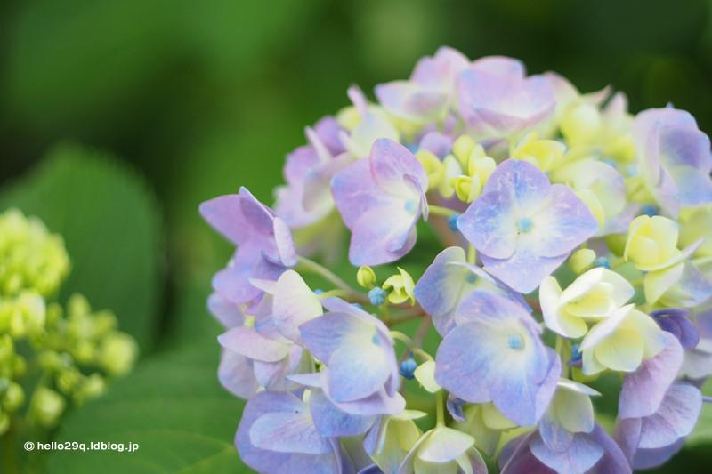 紫陽花:相模原北公園