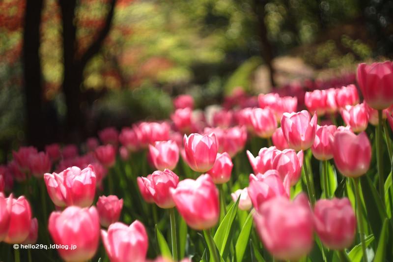 横浜公園:チューリップ