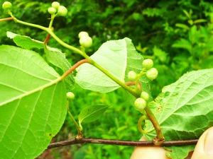 マタタビ花芽