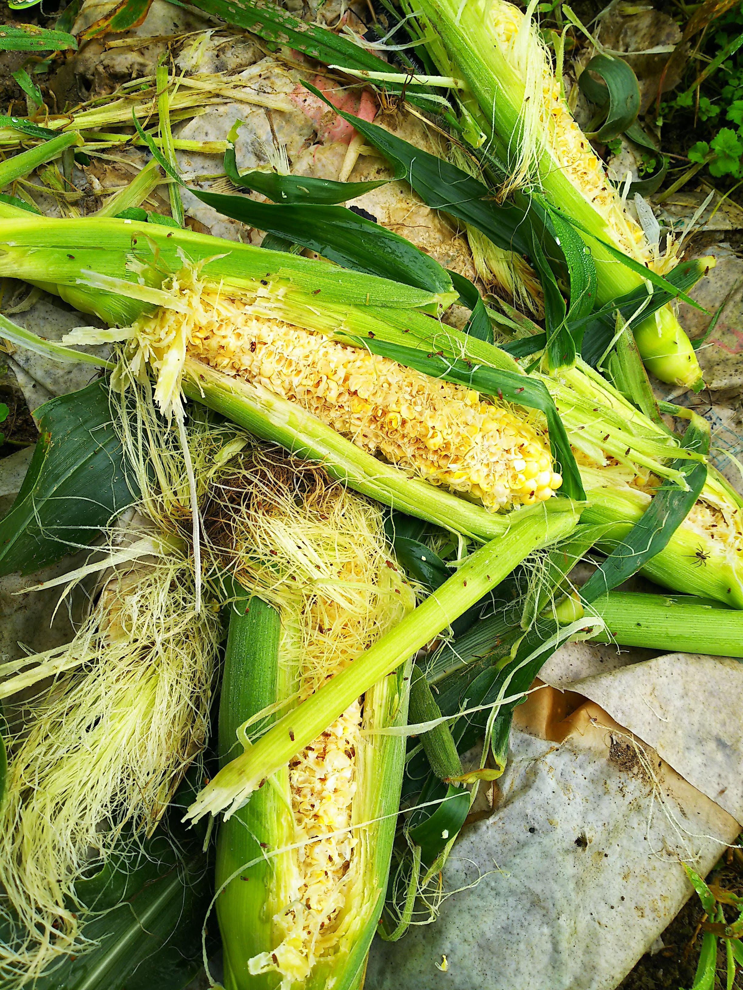 唐黍の食害 : 自然遊民