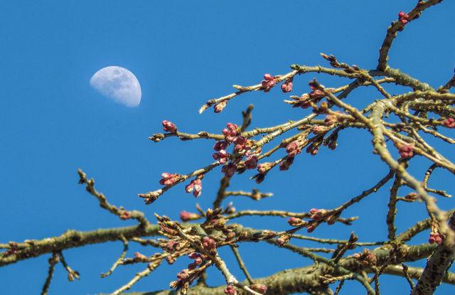 月と信玄桜