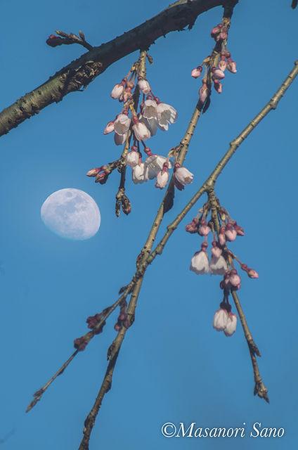 信玄桜と月800