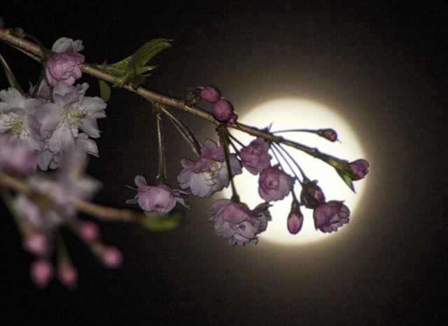 月と桜+t
