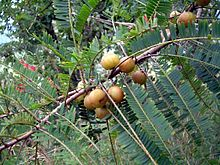 220px-Phyllanthus_officinalis