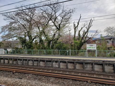 kawasakishimmachi_sakura