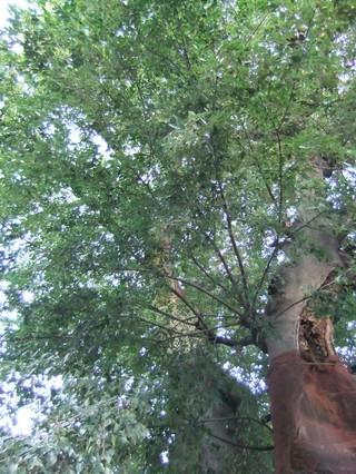 マガキの森の榎の大樹