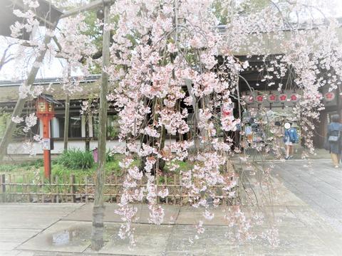 �平野神社の魁桜(サキガケザクラ)