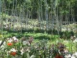 白樺樹林に咲き誇るユリ