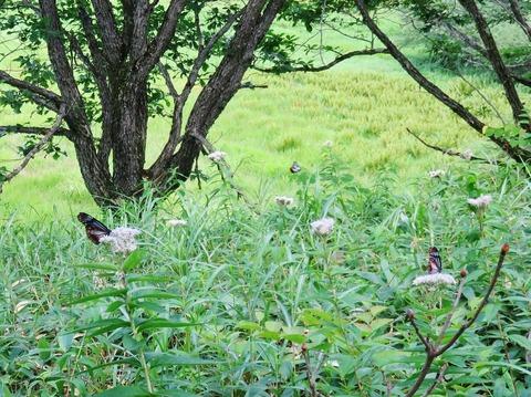 0・三匹のアサギマダラが舞い、羽を休める