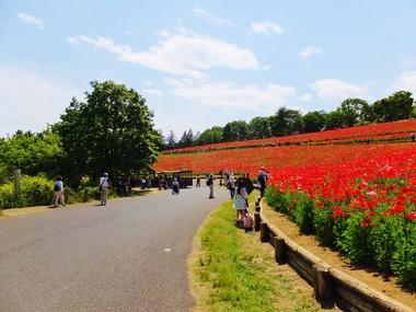 真っ赤な花の丘