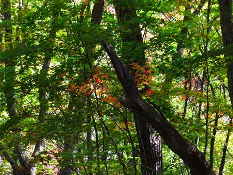 8・ハウチワカエデが緑に映える