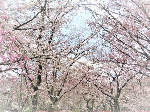 �平野神社の桜・桜・桜・桜