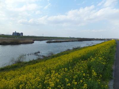 江戸川土手を彩る菜の花