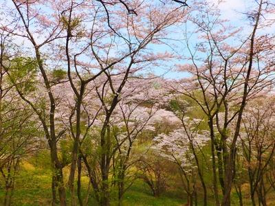 滝山城跡桜の園