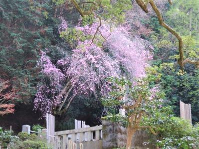 法然院の墓地に立つ枝垂桜枝垂桜
