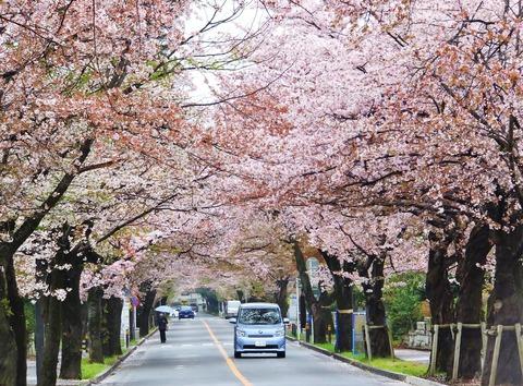 4・4月5日多磨霊園の桜並木