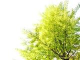黄葉しかけの銀杏