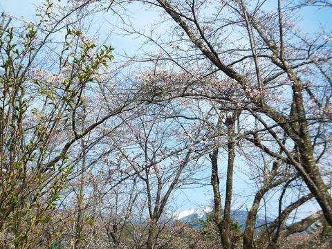 桜に八ヶ岳
