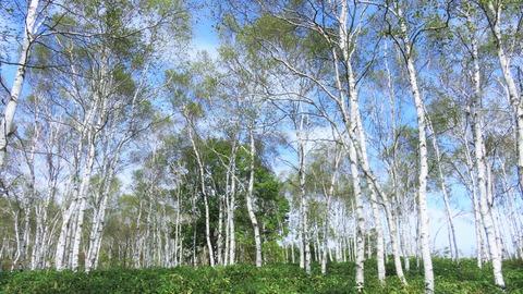 16・白樺の群生林