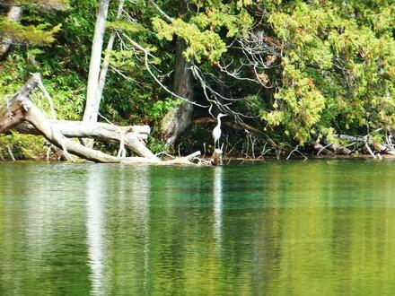 明神池の奥に羽を休める白鷺