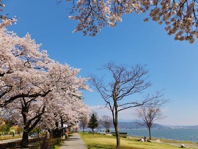 湖畔の満開の桜