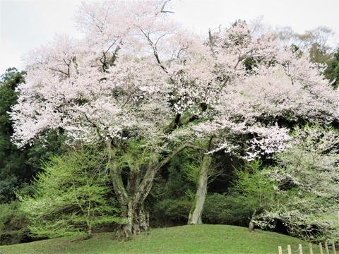 樹齢四百年の吉良のエドヒガン桜