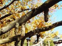 乳銀杏の枝から垂れる乳(澱粉)