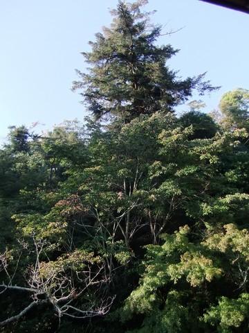 部屋から赤松の大樹と紅葉