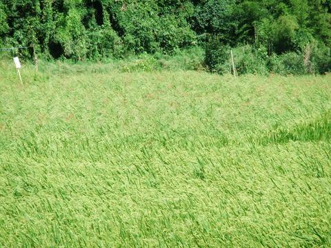 対馬豆酘・赤米神田