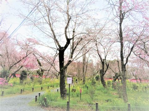 �平野神社 有料桜苑