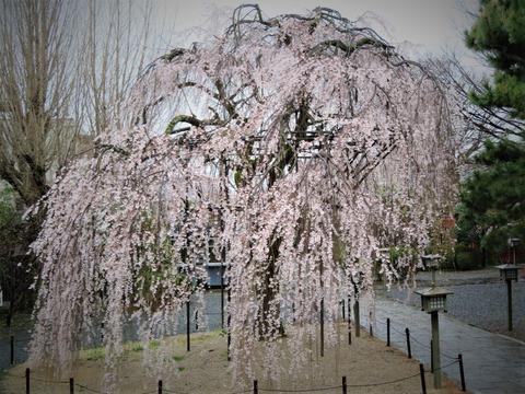 �見事な枝垂れ桜 阿亀桜