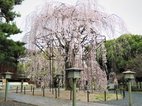 �雨中の阿亀桜