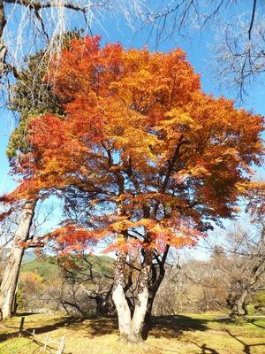 高遠城址・紅葉の巨木