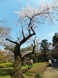古木の枝先に健気に咲く桜