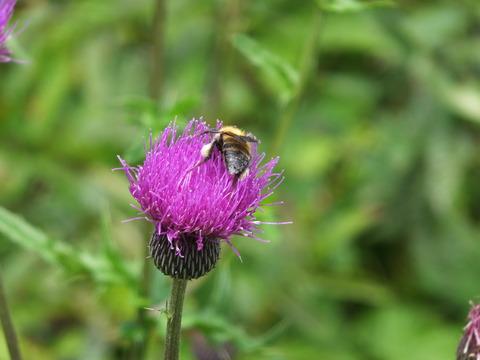 6・アザミに蜜蜂