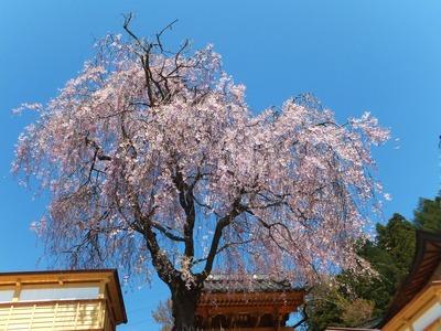 諏訪市元町あたり、満開の枝垂れ桜