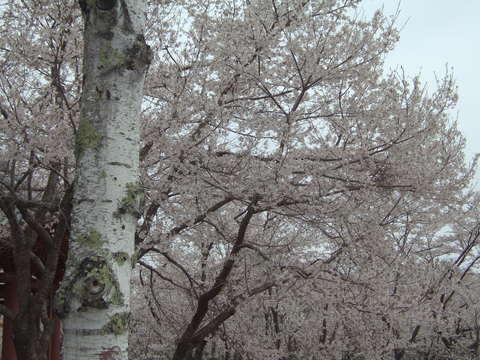 聖光寺の満開の桜