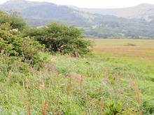 5アカバナシモツケソウが咲き乱れている