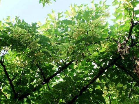 菩提樹の花の下で
