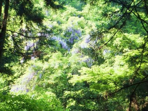 新緑のなか、フジの花がそこここに顔を出す